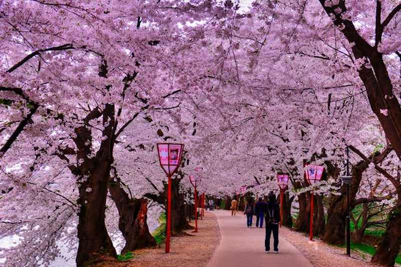 Cherry blossom festivals canceled